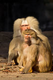 Monkey Baboon looking serious Royalty Free Stock Photography