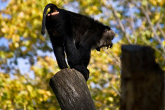 Monkey baboon screaming. A baboon screaming from the peak of a broken tree royalty free stock image