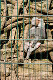 Monkey baboon sitting in the cage of zoo Royalty Free Stock Photography