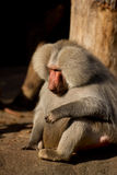 Monkey Baboon thinking Stock Image