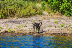 Monkey baboon at the watering Stock Photo