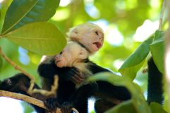 Monkey with baby. Face of monkey of costa rica, Cebus capucinus, monkey with baby on its arm Royalty Free Stock Photos