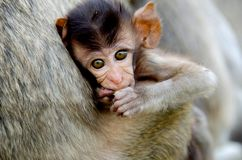 Monkey baby Stock Photography