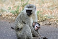 Monkey and Baby. Monkey and its newborn baby at Kruger National Park in South Africa Royalty Free Stock Photos