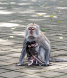 Monkey with a baby Royalty Free Stock Photo