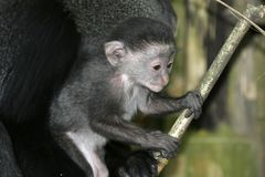 Monkey Baby Stock Photo