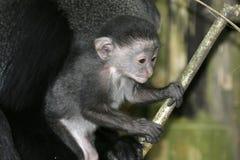 Monkey Baby. Blue monkey infant Stock Photo