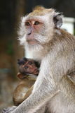 Monkey with baby. Adult monkey with baby in Thailand Stock Image