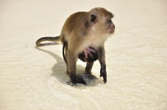 Monkey with baby attached, on the beach Stock Images