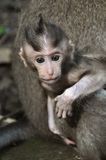 Monkey baby. Bali, Indonesia. Pura Dalem Agung Padangtegal temple in Sacred Monkey Forest in Ubud. Bali, Indonesia Stock Photo