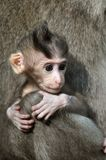 Monkey baby. Bali, Indonesia. Royalty Free Stock Photo