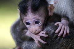 Monkey baby biting hand Stock Images