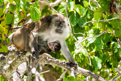 Monkey baby drinking milk from mother. Khao Phing Kan island, Adaman sea, Thailand Royalty Free Stock Image