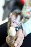 Monkey baby eat the banana Royalty Free Stock Photos