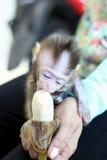 Monkey baby eat the banana. In woman`s hand Royalty Free Stock Photos