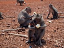 Monkey with baby eating corn Royalty Free Stock Images