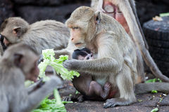 Monkey and baby eating vegetable  in the park Stock Images