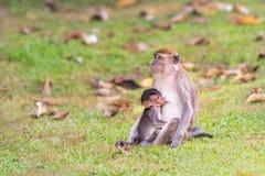 Monkey with baby. The monkey baby having breastfeeding Royalty Free Stock Images