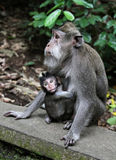 Monkey baby with her mother Royalty Free Stock Photos