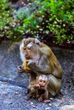 Monkey with a baby at Monkey Hill Royalty Free Stock Image