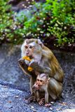 Monkey with a baby at Monkey Hill Stock Photo