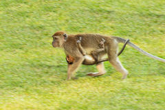 Monkey with baby. The monkey holding her baby Royalty Free Stock Photos