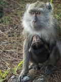 Monkey with baby stock images
