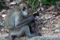 Monkey and baby in Kep, Cambodia Royalty Free Stock Photos