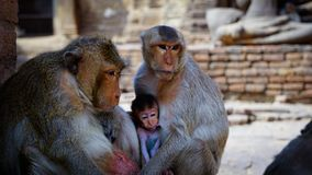 Monkey temple lopburi thailand royalty free stock photo