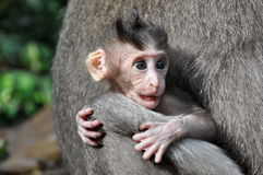 Monkey baby Macaca. Bali, Indonesia. Royalty Free Stock Images