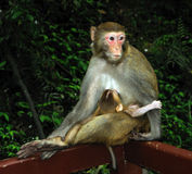 Monkey baby and mother Royalty Free Stock Photography