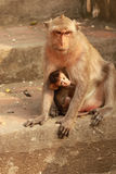 Monkey Baby with Mother Stock Photo