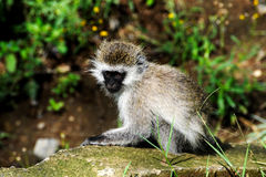 Monkey baby. National Park - Kenya Royalty Free Stock Images