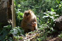 Monkey with baby in national park in Thailand Stock Images