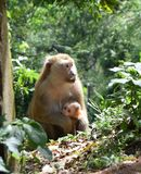 Monkey with baby in national park in Thailand Stock Image