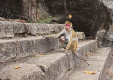 Monkey with a baby. Photographed near the cave tamples in Sri Lanka Royalty Free Stock Photos