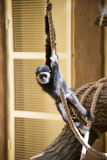 Monkey baby plays on rope. And have fun Royalty Free Stock Image