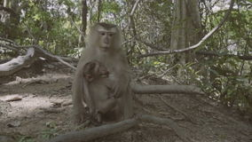 Monkey with baby sitting and on the ground and eating nuts. Monkey Hill in Phuket, Thailand stock video footage