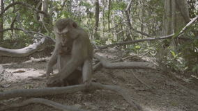 Monkey with baby sitting and on the ground and eating nuts. Monkey Hill in Phuket, Thailand stock footage