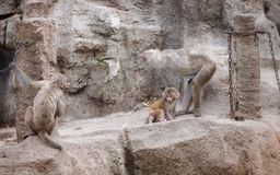 Monkey baby whisper to her mom. While another big monkey sneak up on them slowly stock image