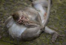 Monkey from bali Royalty Free Stock Photo