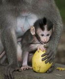 Monkey from bali Stock Photography