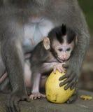 Monkey from bali Stock Photography