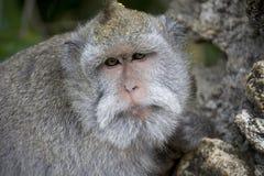 Monkey from bali Stock Photo