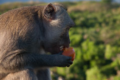 Monkey in Bali Eating a Tomato. Side profile of a single Macaque eating a tomato on top of Uluwatu temple on sunset Stock Photo