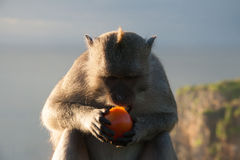Monkey in Bali Eating a Tomato. A single Macaque eating a tomato on top of Uluwatu temple on sunset royalty free stock photos