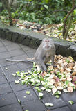 Monkey in bali Royalty Free Stock Photo