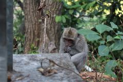 Monkey in Bali, Indonesia. royalty free stock photo