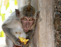 Monkey on Bali Island Royalty Free Stock Image