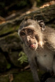 Monkey. Balinesian monkey in ubud, monkey forest Royalty Free Stock Photography
